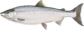Coho Salmon Fishing Illinois
